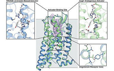Structurally distinct active conformations within a GPCR. Robert Lefkowitz group (Duke University) and Andrew Kruse group (Harvard Medical School).                                            <a href='news/2020/AKruse_2020_1.html'>Read more...</a>