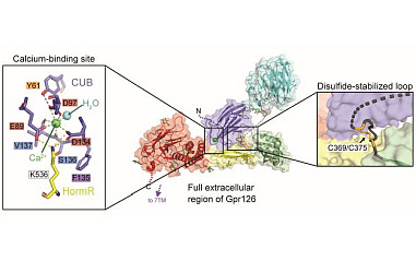 Structural basis for adhesion G protein-coupled receptor Gpr126 function. Demet Araç group (University of Chicago) and collaborators.                                                     <a href='news/2020/DArac_2020.html'>Read more...</a>