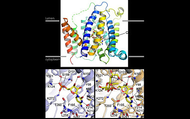 Structurally distinct active conformations within a GPCR. Matt Whorton group (Oregon Health & Science University).                                                                             <a href='news/2019/MWhorton_2019.html'>Read more...</a>